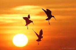 Meer weidevogels in het wormer- en jisperveld