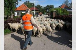Verplaatsing schaapskudde door straten van Zaandam