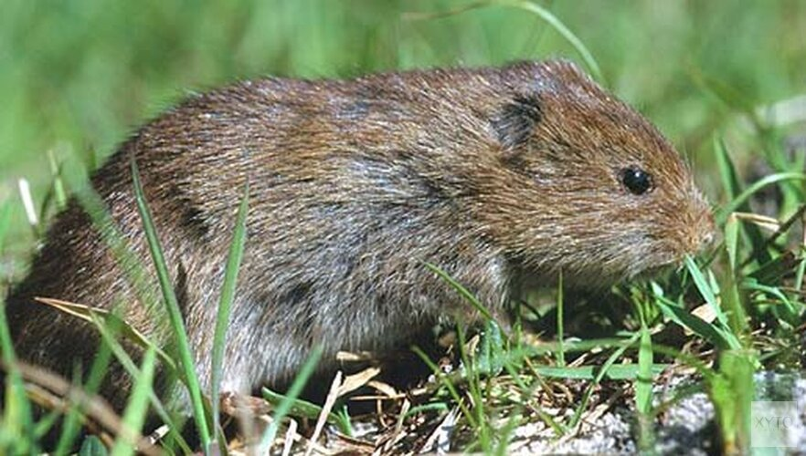 'Beschermde Noordse woelmuis aangetroffen op toekomstig sportterrein Zaandijk'