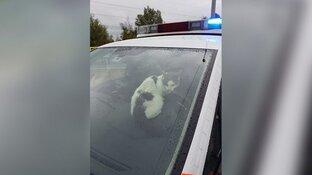 """Vermiste kat Lotus meldt zich bij politie na ongeval op A8: """"Wat een lief dier"""""""